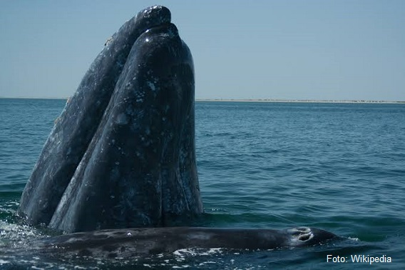 ▷Santuario de Ballenas de El Vizcaíno, Baja Cal
